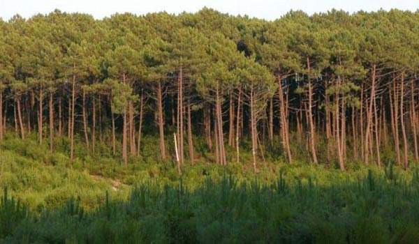 A major part of the route will involve the Forest of Landes.
