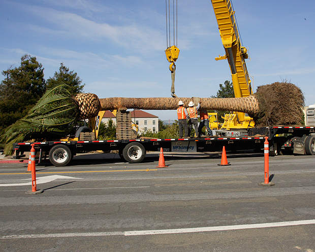 Relocation of a palm tree during the replacement of San Francisco's Doyle Drive.
