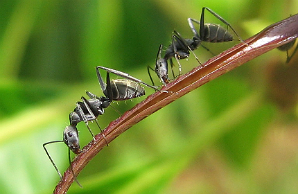 ants are one of the rare groups of animals